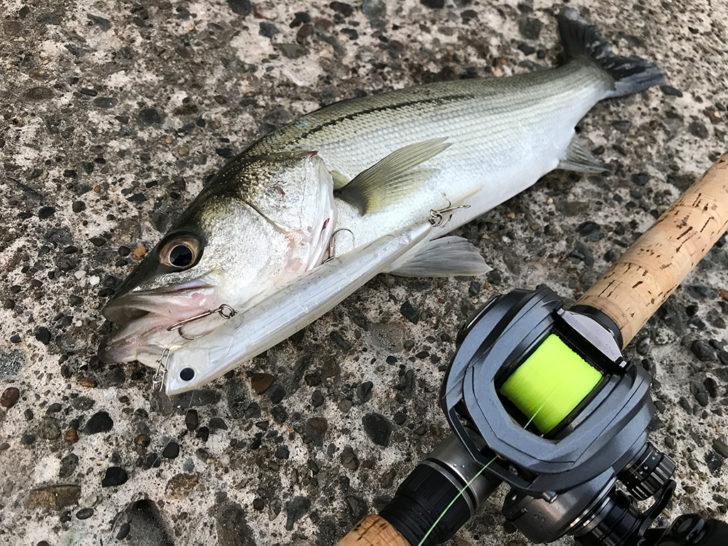 キレイな魚体!40cmちょっとの今シーズン初シーバス