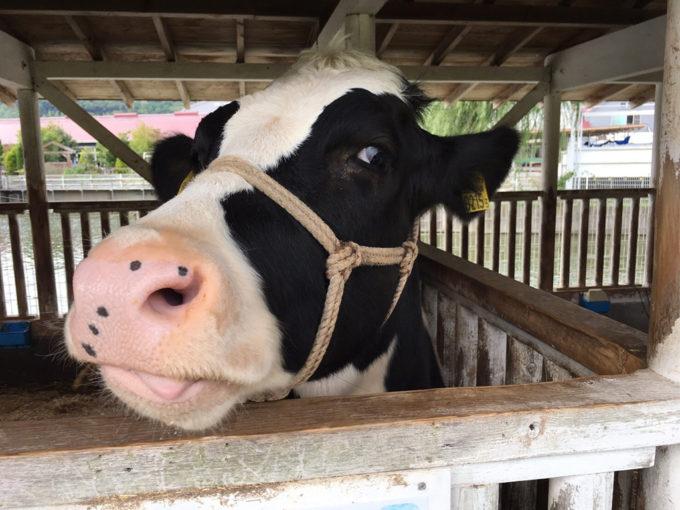 牛の乳しぼり体験をすることもできます!